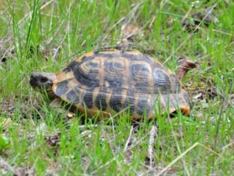 Una de les tortugues mediterrànies alliberades aquest divendres Foto:Departament de Territori i Sostenibilitat