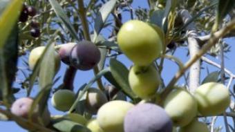 Un dels requisits és que com a mínim el 90% de les olives han de ser arbequines.  Foto:J.F