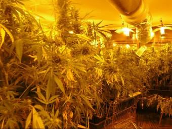 La plantació estava en diferents habitacions del pis de Sant Jaume de Llierca Foto:CME