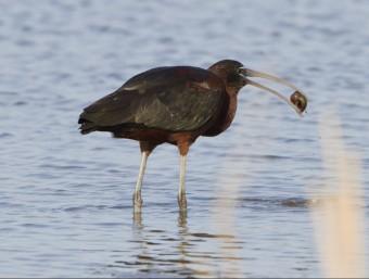 El capó reial, depredador del caragol maçana, ha passat de ser poc comú a comú al delta de l'Ebre Foto:ACN