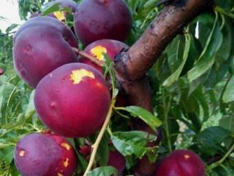 Fruita malmesa a Torres de Segre a causa de la forta tempesta de dissabte a la nit Foto:ACN