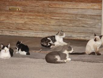 Un grup de gats, sense individus esterilitzats, espera menjar.J.PUNTÍ