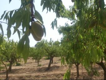 Un camp d'ametlles a la comarca dels Serrans. Foto:ESCORCOLL