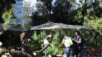 Uns policies en plena feia de segar les plantes de marihuana a Sant Esteve de Llémena. Foto:EL PUNT AVUI