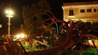 Pi centenari que va caure a causa de la forta tempesta a Salou Foto:ACN