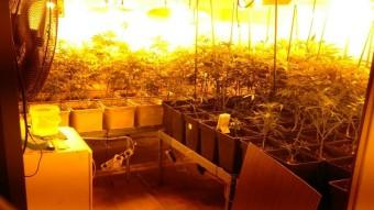 Els detinguts cultivaven 75 plantes de marihuana en una casa de Corbera de Llobregat Foto:MOSSOS D'ESQUADRA
