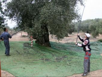 El tronc de les oliveres mil·lenàries té un perímetre de 3,5 metres com a mínim. Foto:ARXIU