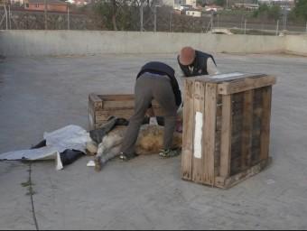 Cadàvers sota caixes mentre el veterinari fa la necròpsia de les bèsties Foto:GRANJA PIFARRÉ