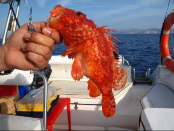 Un pescador acaba de capturar una escórpora, al Cap de Creus.  Foto:ARXIU