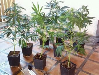 Plantes de marihuana , confiscades en una casa de Torroella de Montgrí, el 2012 Foto:EL PUNT AVUI