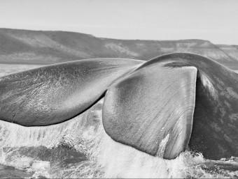 Les balenes franques a l'Argentina Foto:S.SALGADO/ IMAGENES CONTACTO
