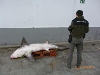 El tauró fa 4,5 metres de llargada. Foto:ACN