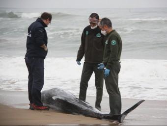 El dofí (cap d'olla) avarat a la platja de Sant Salvador. Foto:ACN