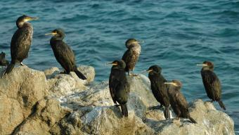 Una colònia de corbs marins emplomallats a la costanord del Maresmee.badosa